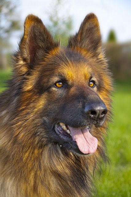 Long Haired German Shepherd Face
