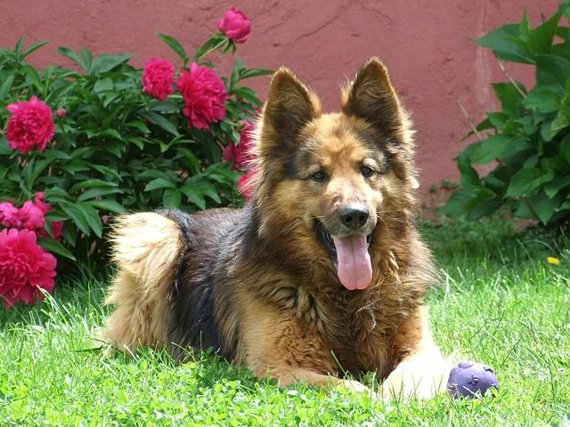 Long Haired German Shepherd in Garden