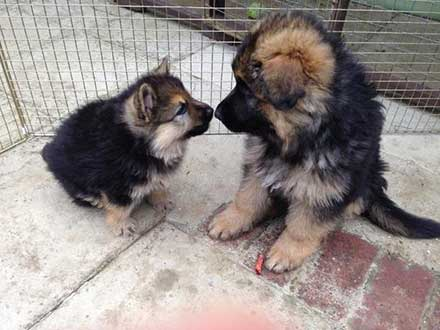 little gsds with dwarfism