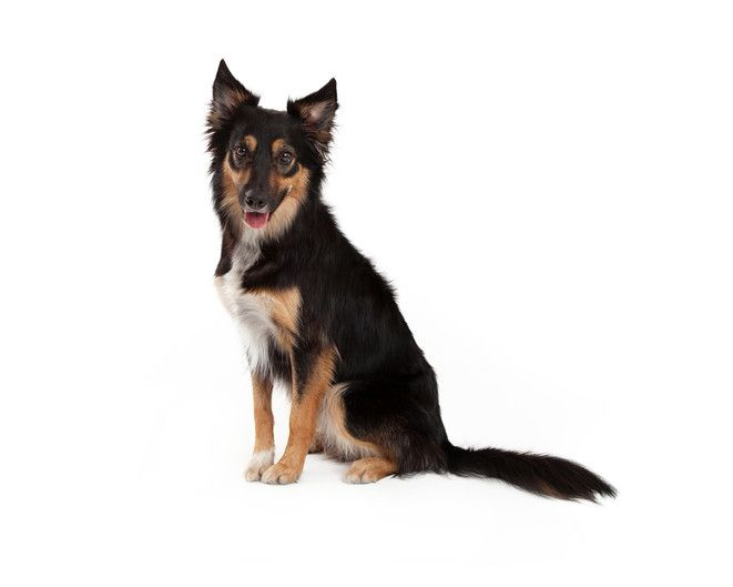 miniature german shepherd breed the miniature german shepherd the truth about this 8932