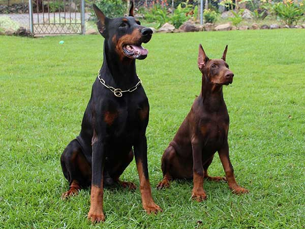 Doberman Colors