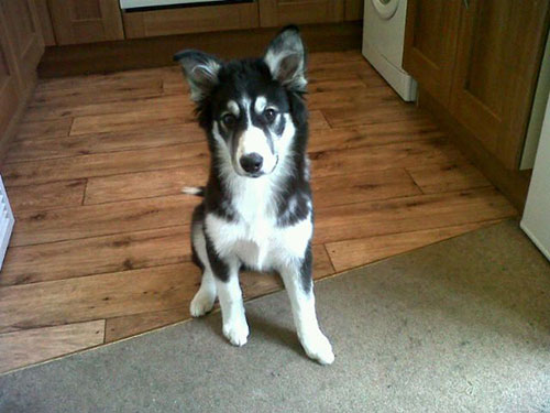 The Border Collie Husky Mix: Is This Smart, Active Dog ...