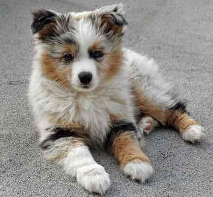 The Pomeranian Australian Shepherd Mix Much More Than Just A Pretty