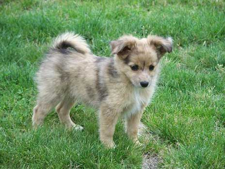 pomeranian australian shepherd mix temperament