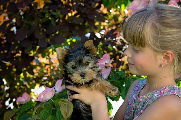 do yorkshire terriers shed