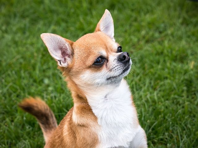 apple head chihuahua puppies are the apple head chihuahua and deer head chihuahua 5531