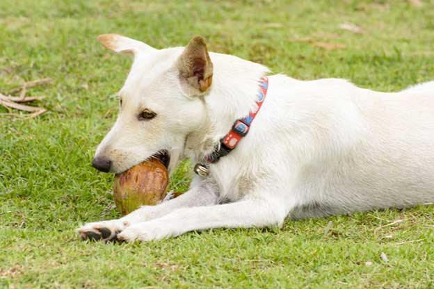 can dogs eat coconut and drink coconut water