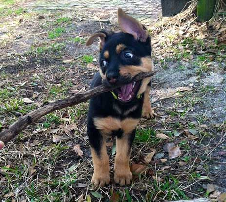 German Shepherd Rottweiler Mix Care