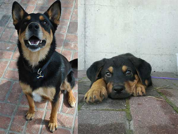 German Shepherd Rottweiler Mix
