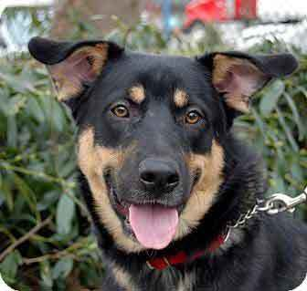 german shepherd rottie mix