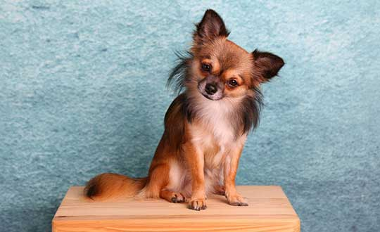 long haired chihuahua care