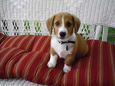 corgi beagle mix beagi