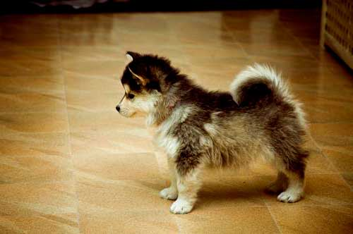what is corgi husky mix called