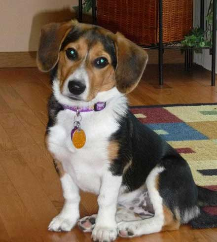 Are Corgi Beagle Mix Pups Really Great Family Pets For New ...