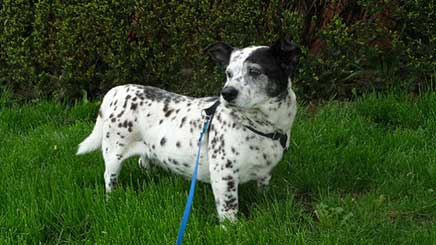 dalmatian corgi mix health problems