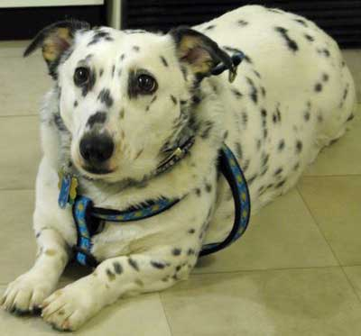 corgi dalmatian mix behavior issues