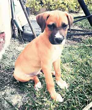Is The German Shepherd Boxer Mix Too Much To Handle