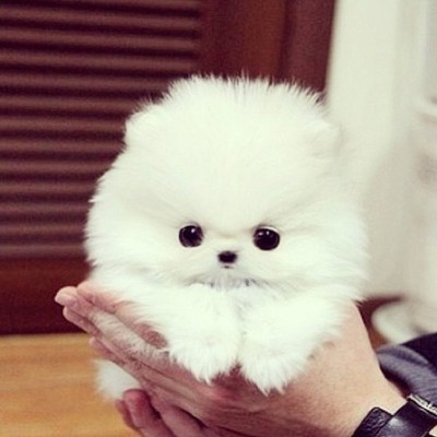 Mini Pom dog