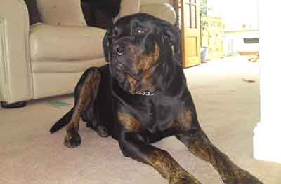 Is The Great Dane Rottweiler Mix Too Much For Families To Handle
