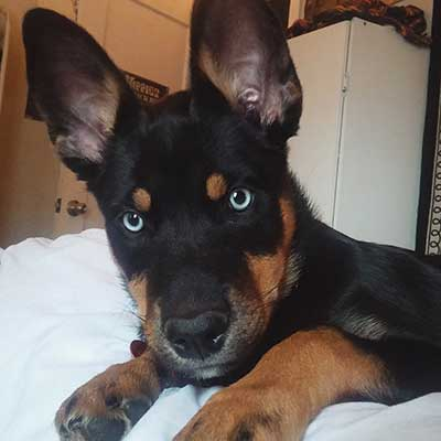 husky rottweiler mix behavior issues