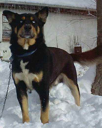Siberian Husky Mixed With Rottweiler