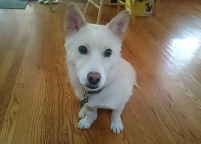 Personality of Shiba Inu Corgi Mix Cross