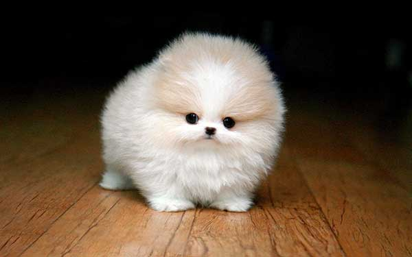 The Teacup Pomeranian Does It Exist And If So It Is A Good Pet