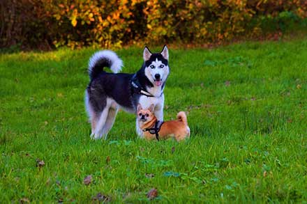 How Much Do Huskies Cost The Varying Prices And Expenses In Husky