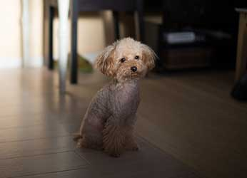 White Miniature poodle dog