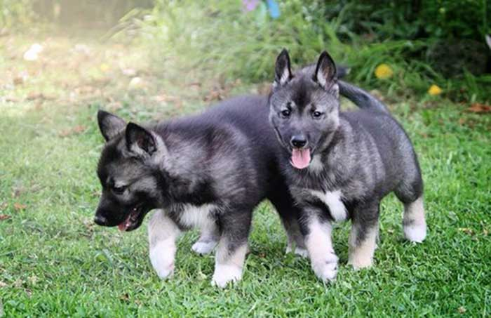 agouti husky puppies