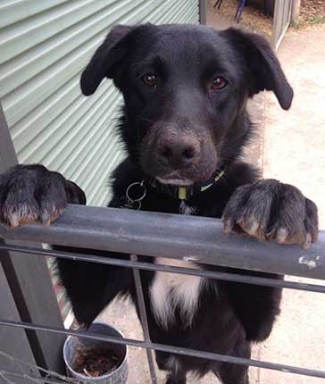 is the border collie lab mix really the easiest dog to get