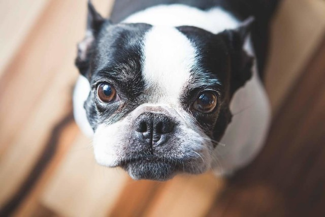 Is The Frenchton Dog Really Any Better Than The Frenchie
