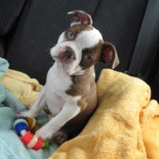 French Bulldog Boston Terrier Mix Puppy