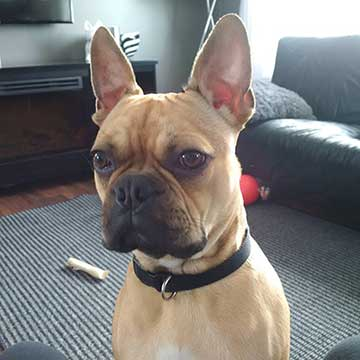 Boston Terrier mixed with French Bulldog Fawn