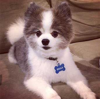 husky and pomeranian mix dogs the pomsky the truth behind the cute facade 3537
