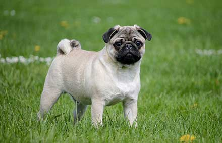 how much do baby pugs cost