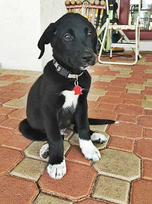 Is The Border Collie Lab Mix Really The Easiest Dog To Get ...