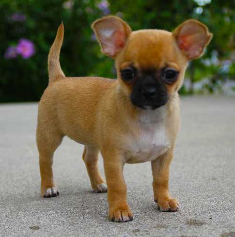 pug chihuahua mix Puppy