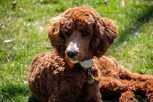 Standard Brown Poodle Show Dog