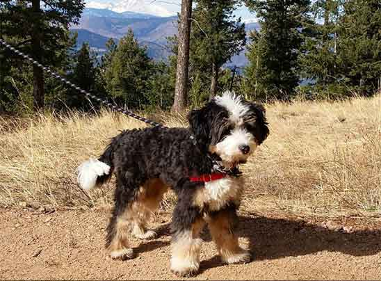Bernedoodle puppy traits and characteristics