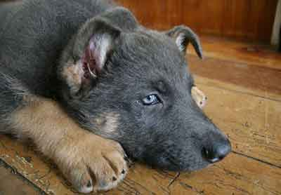 blue and tan german shepherd puppy
