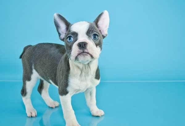 The Blue French Bulldog Beautiful Rarity Or Undesirable Abnormality