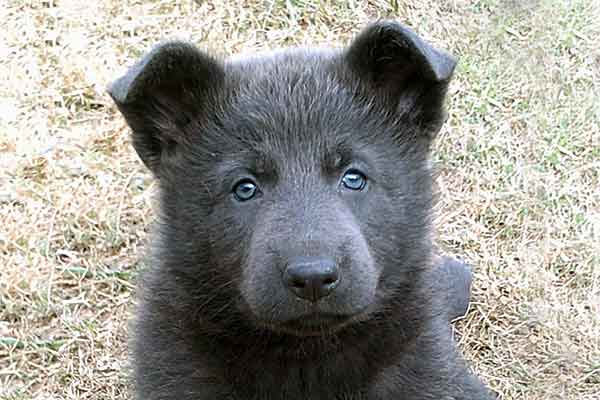 blue german shepherd