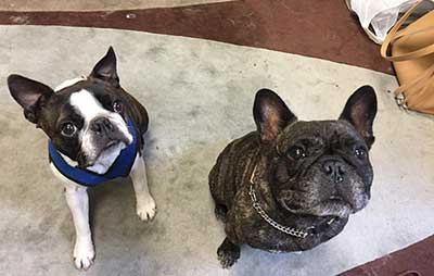 difference between french bulldog and boston terrier boston terrier size comparison bruin blog 4713