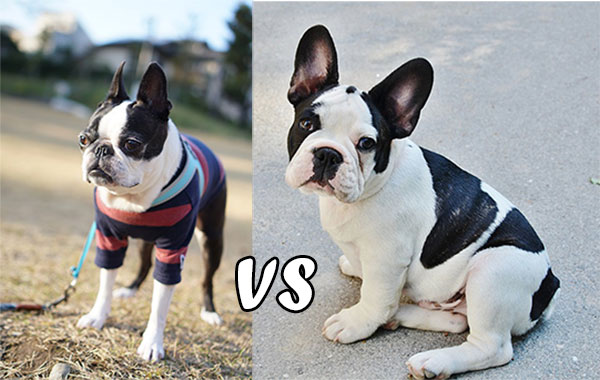 difference between french bulldog and boston terrier boston terrier vs french bulldog uncovering the 7456