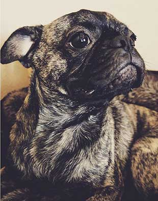 the face of brindle pug