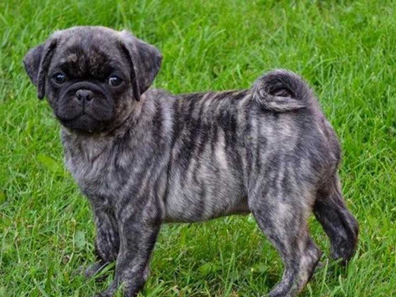 Uncovering The Mystery Of The Brindle Pug