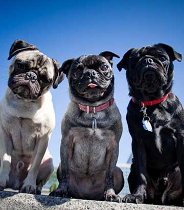 3 different colors of pugs