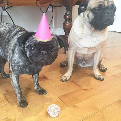 brindle and fawn pugs