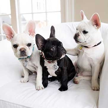 all black and all white frenchies